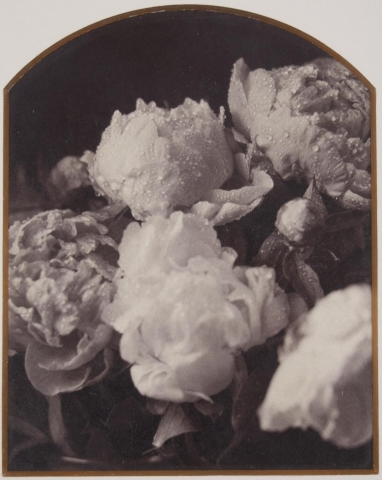 A still life of a vase of peonies. The image is tightly cropped and droplets of water are visible on the petals of the flowers.